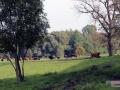 Pastwisko i krowy