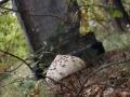 Ługi, grzyb Czubajka Kania