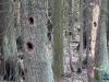 Dziuble w drzewach