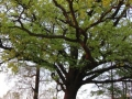Pomnik Przyrody w Rudnie, Dąb Myślibór